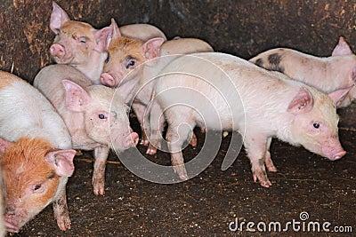 Pig Piglets in pen