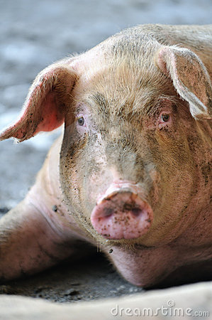 Free Pig Portrait Royalty Free Stock Images - 8895929