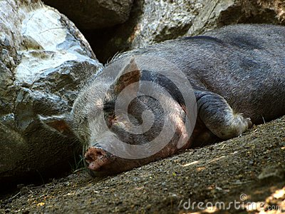 Pig in relax