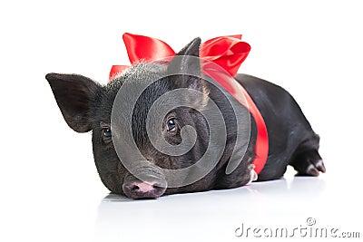 A Pig s life