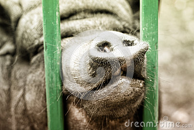Pig s Nose