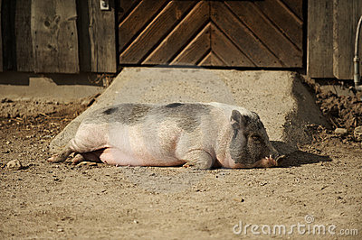 Pig sleeping in the afternoon sun