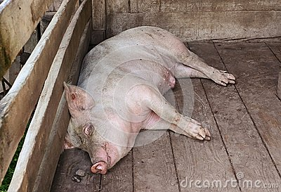 Pig sleeping in a pigpen