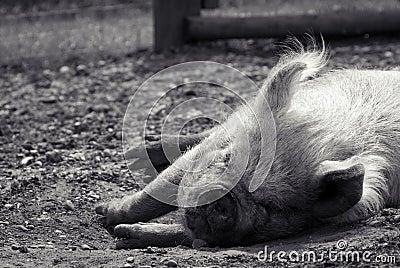 Pig sleeping in summer sunshine