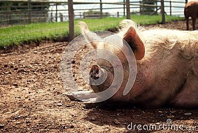 Pig sleeping in the sunshine