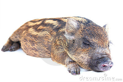 Pig  small sleeping