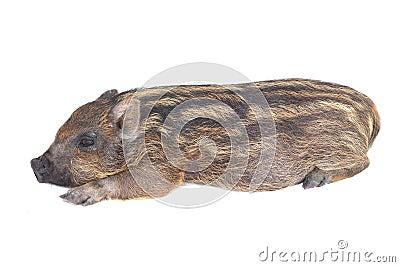 Pig  small sleeping
