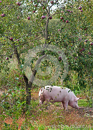 Pig under the apple tree