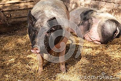 Pig watching