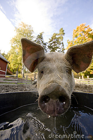 Pig at Water Bowl