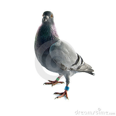 Free Pigeon Royalty Free Stock Photo - 14432845