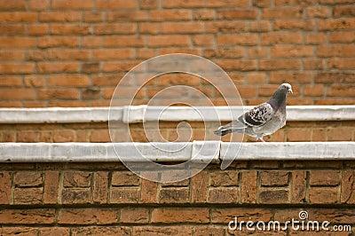 pigeon au bord d 39 un toit photographie stock libre de droits image 5600207. Black Bedroom Furniture Sets. Home Design Ideas