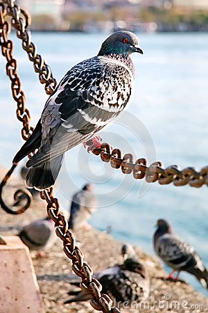 Pigeon on the chain