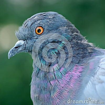 Free Pigeon Close-Up Stock Photos - 125630813