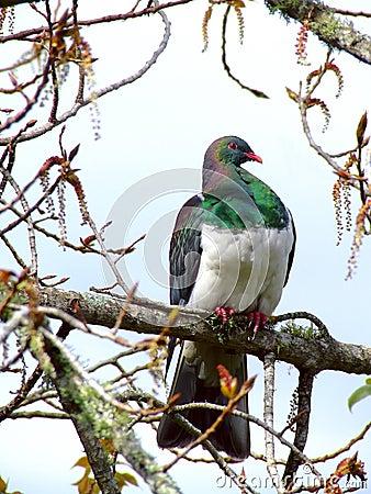 Pigeon de la Nouvelle Zélande