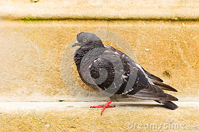 Pigeon dove in the city street public square Stock Photo