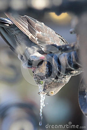 Free Pigeon Drinking Royalty Free Stock Image - 33866136