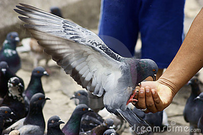 Pigeon Feeding from a Man s Hand