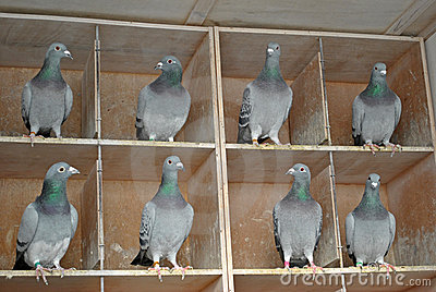 Pigeon females in a dovecote