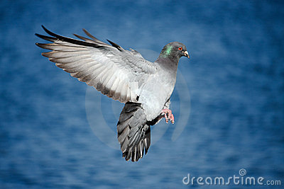 Pigeon in flight over blue water