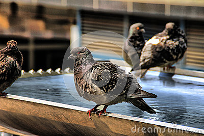 Pigeon on a fountain