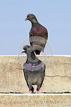 Pigeon looks