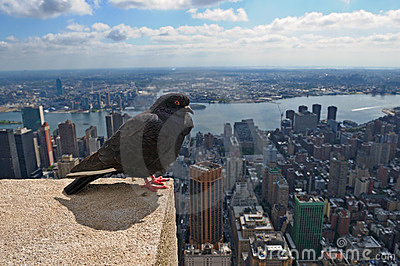 Pigeon and New York City