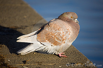 Pigeon On Parapet Royalty Free Stock Image - Image: 7105176