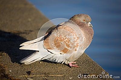 Pigeon on parapet
