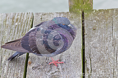 Pigeon with Puffed Feathers