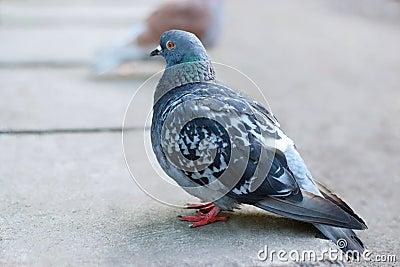 Pigeon in a quiet sedate image