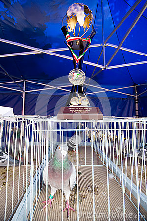 Free Pigeon Racing Champion Stock Photography - 62704472