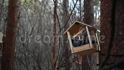 The pigeon stands on a creative bird feeder tied to a tree trunk. Pigeon eyes. Early cold spring Tree bark background stock footage