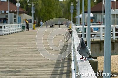 Pigeon sur la promenade