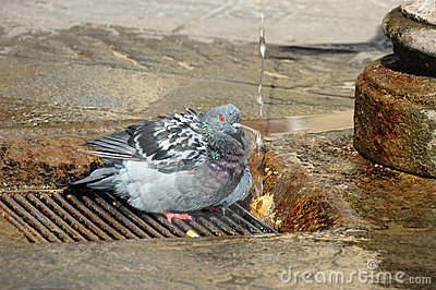 Pigeon taking a shower