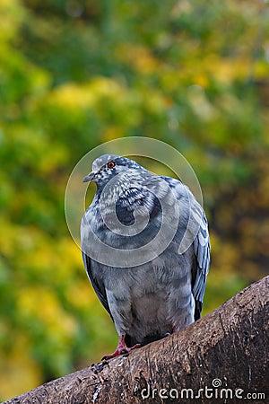 Pigeon on the tree