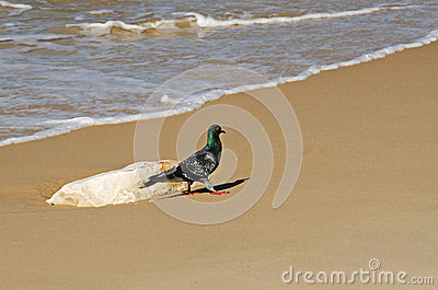 Pigeon walk on the shore