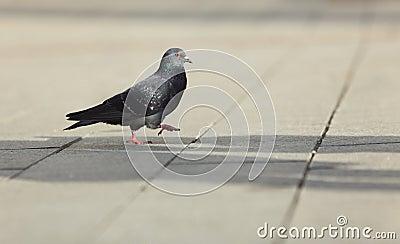 Pigeon walking