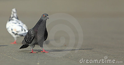 Pigeon walking