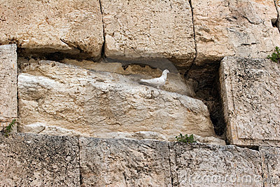 Pigeon on the Western Wall