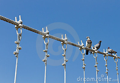 Pigeons on cable of the bridge