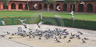Pigeons on the courtyard