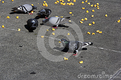 Pigeons eat junk food