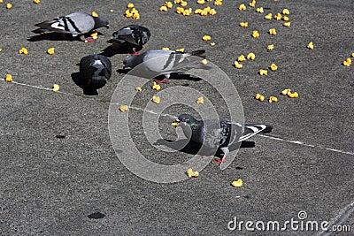 Pigeons eat junk food