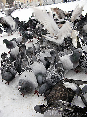 Free Pigeons In Snow Stock Photo - 7178220