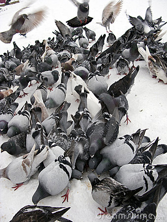 Free Pigeons In Snow Stock Image - 7178251