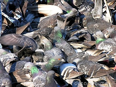 Pigeons manic crowd