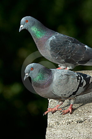 Free Pigeons On A Balcony Stock Photography - 1316592