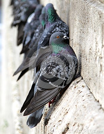 Free Pigeons On The Building Wall Stock Photos - 35805523