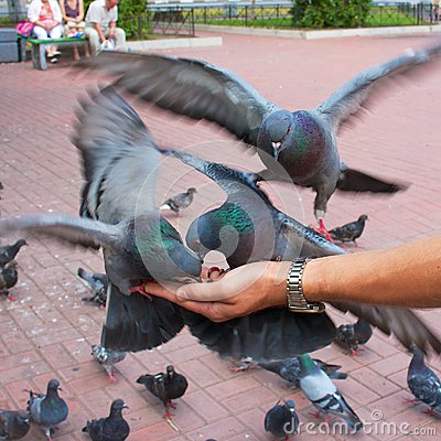 Pigeons pecking seeds on the man s hand